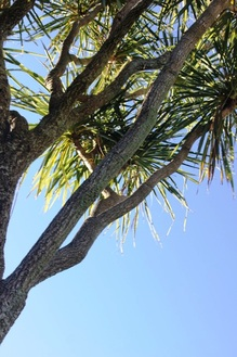 Picture of cabbage tree trunk and leaves