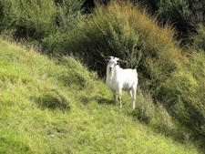 A feral billy goat roaming the hillside