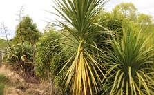 Cabbage trees and flaxes on erosion prone land