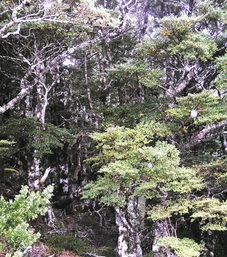 Beech forest in Hawke's Bay